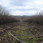 odmladzanie-plantacji-jagodowych-wycinaczem-pedow-bocznych