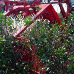 aronia-currants-harvesting