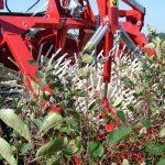 aronia-harvesting
