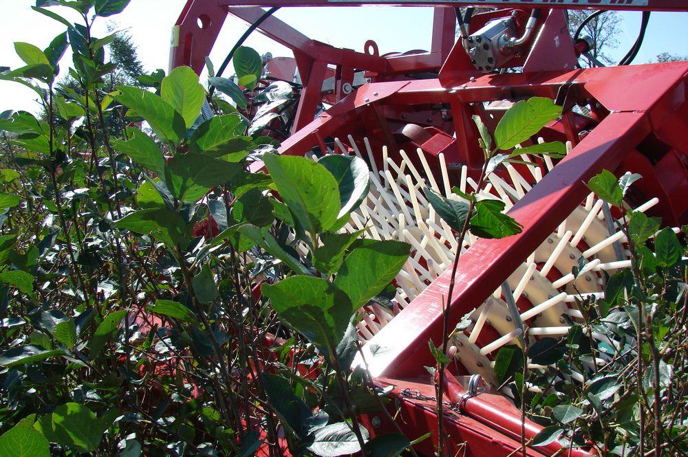 haskap-harvesting