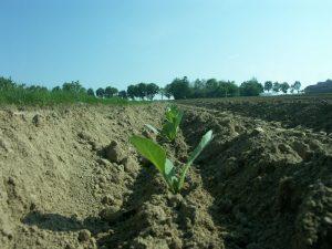 Precyzyjne sadzenie kapusty sadzarką PATRYK-2