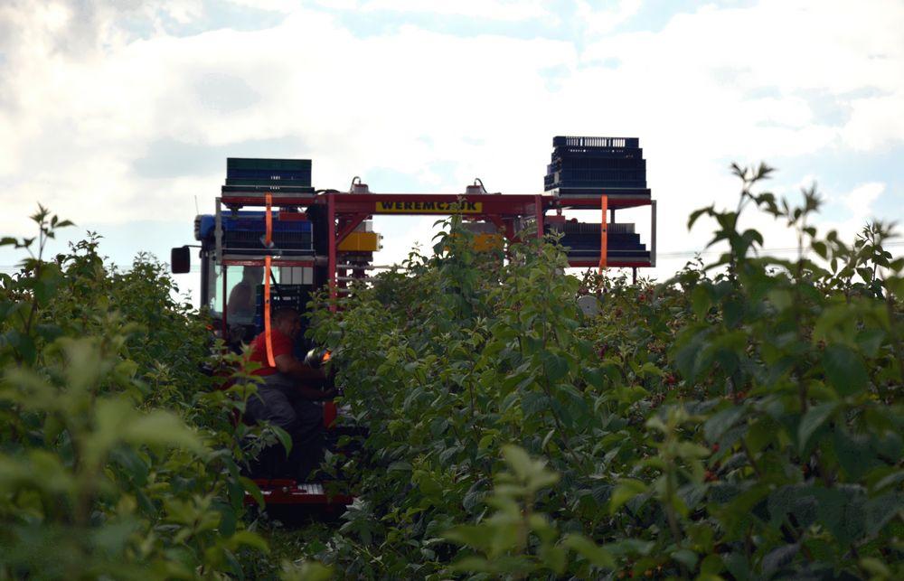 mechanization-picking-up-red-raspberries