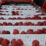 red-raspberries