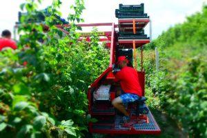 Erntemachine fur Himbeeren und Amerikanischen Heidelbeeren