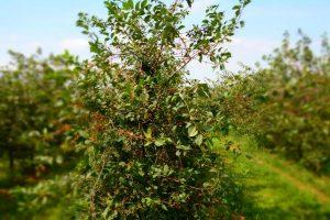 Kirschbaum nach der Mechanischen Ernte