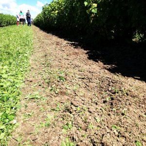 Currant plantation